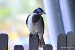 Blue-faced Honeyeater @ the Australia Zoo