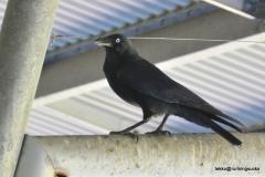 Raven @ Australia Zoo
