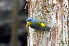Eastern Yellow Robin @ Australia Zoo