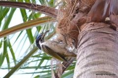 Blue-faced Honeyeater @ Australia Zoo