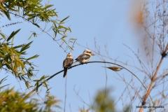 Laughing Kookaburra @ Australia Zoo