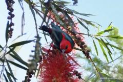 Scarlet Honeyeater @ Australia Zoo