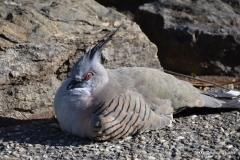 Crested Pigeon @ Brisbane Botanic Garden