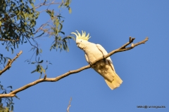 Sulphue crested Cockatoo @ the Brisbne River
