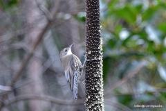 White throated Treecreeper @ Lamington National Park