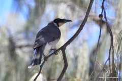 Noisy Friarbird @ North Stradbroke Island