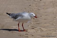 Silver Gull @ North Stradbroke Island