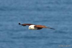 Brahminy Kite @ North Stradbroke Island