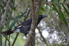 Australian Magpie @ Strawberry Fields