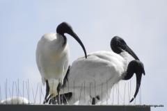 White Ibis @ Australia Zoo (photo by M)