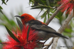 Scarlet Honeyeater at the Australia Zoo (photo by M)