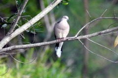 Spotted Dove at Australia Zoo (photo by M)