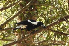Australian Raven @ Mt Cootha (Photo by M)