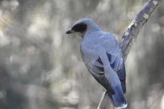 Black faced Cuckoo Shrike @ North Stradbroke Island. Photo by M