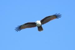 Brahminy Kite at North StradBroke Island. Photo by M