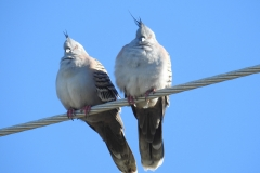Crested Pigeon at North Stradbroke Island (Photo by M)